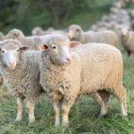 oveja-cordero-ovino